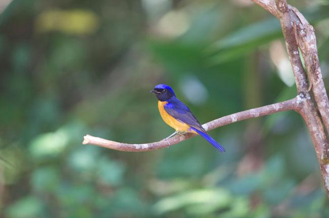 Bird @ Doi Angkhang