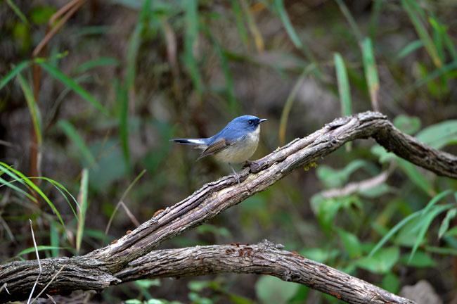 Doi Lang Bird Watching 7 Days Trip