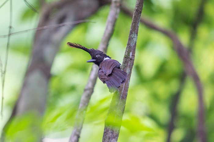 Khao Luang (Krung Ching) Bird Watching 3 Days Trip