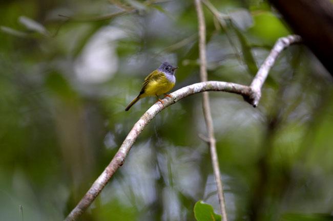 Khao Luang (Krung Ching) Bird Watching 3 Days Trip