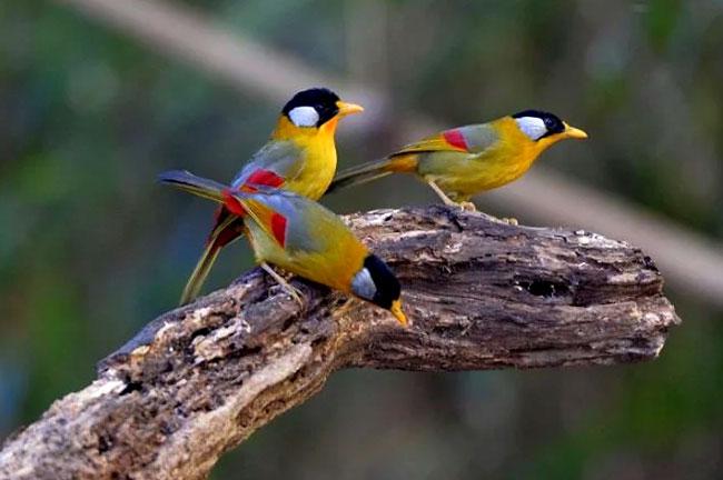 Northern Thailand Bird Watching 7 Days Trip
