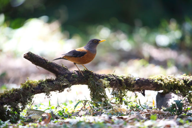 Doi Ang Khang and Doi Lang Bird Watching 5 Days