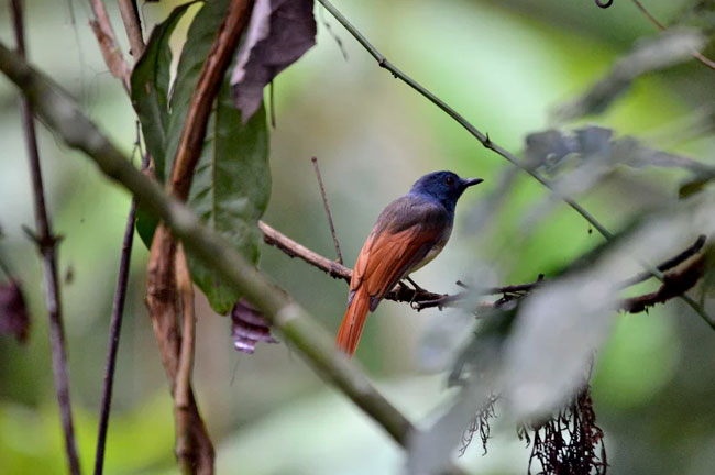 Southern Thailand Bird Watching 9 Days Trip