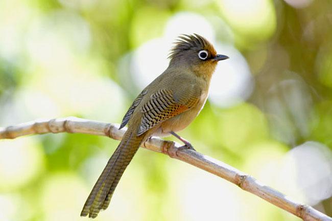 Ultimate Thailand Bird Watching 35 Days Trip